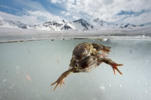 Что лягушки делают зимой?